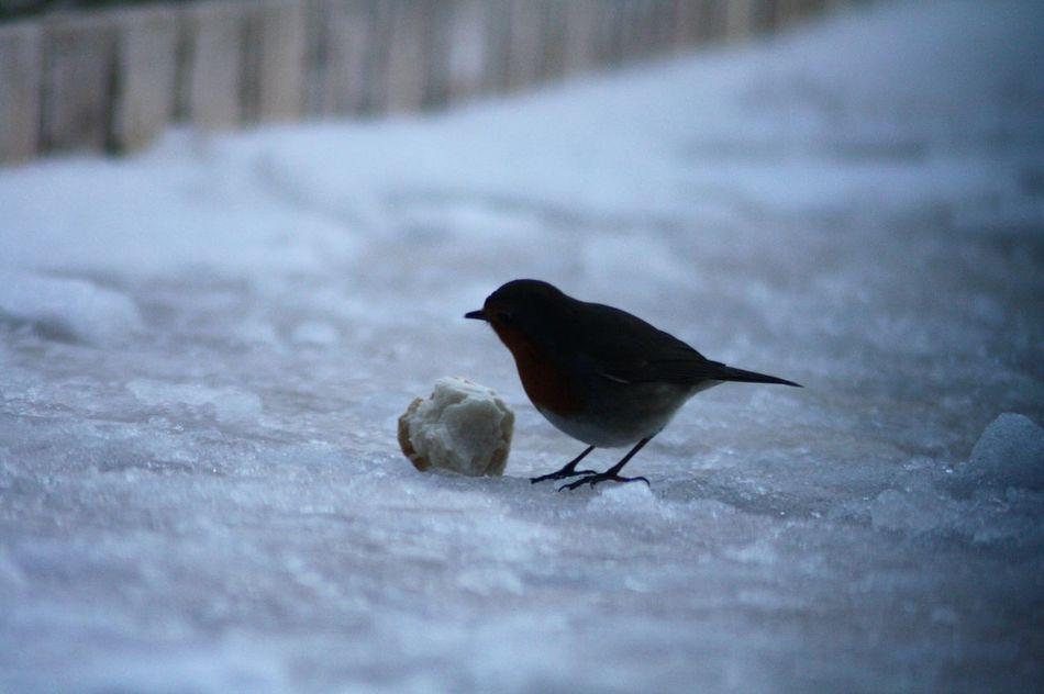Animal Themes Animal Wildlife Animals In The Wild Bird Cold Temperature Day Nature One Animal Outdoors Redbird Snow Winter