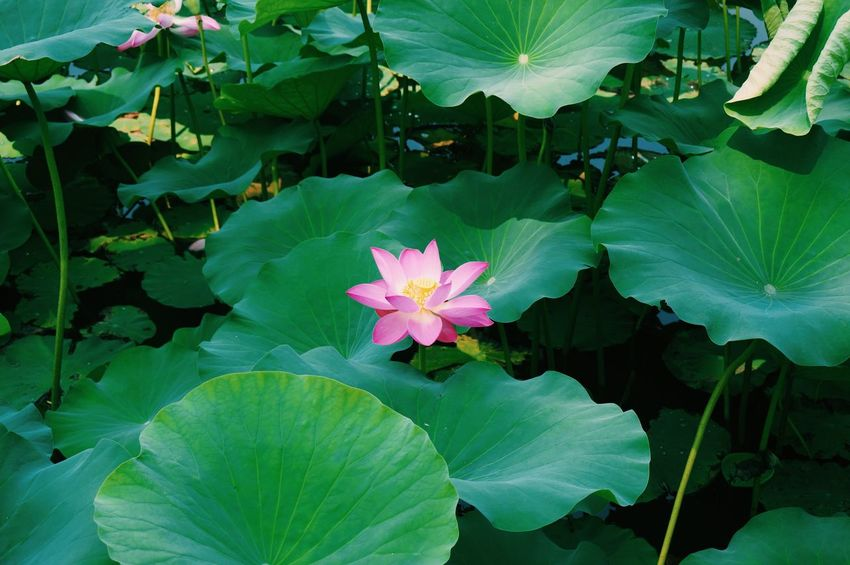Nature On Your Doorstep Green Photos 365 Lotus Summer Flowers The Old Summer Palace Plants Pink Flowers Pink And Green Beauty Of Slience