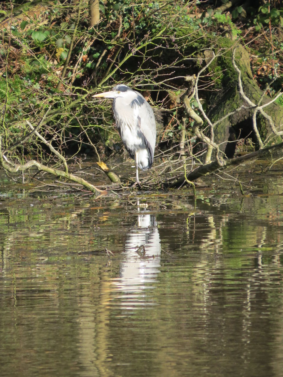one animal, heron, animals in the wild, animal themes, bird, reflection, animal wildlife, water, waterfront, gray heron, day, nature, lake, outdoors, no people, great egret