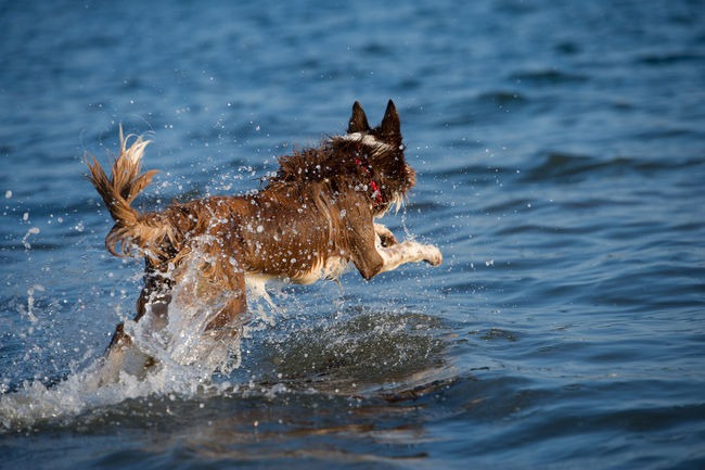 Collie dog jumping in to water for a stick Border Collie Collie, Dog Dog Exercise Dog In Water Dog Swimming Dogs Dogs Of EyeEm Dogslife One Animal Pet Sea Stick Swimming Water