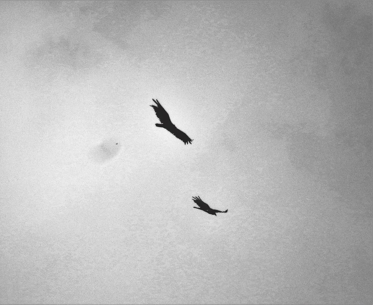 Hawks Circling Hawks Circling EyeEm Gallery Eyeem Market Eyeem Community Eyeem Photography Flying Above Nature Photography Nature_collection Harrisburg, Pa Black And White Collection  Animals Wildlife & Nature EyeEm Best Shots - Black + White Monochrome Photography