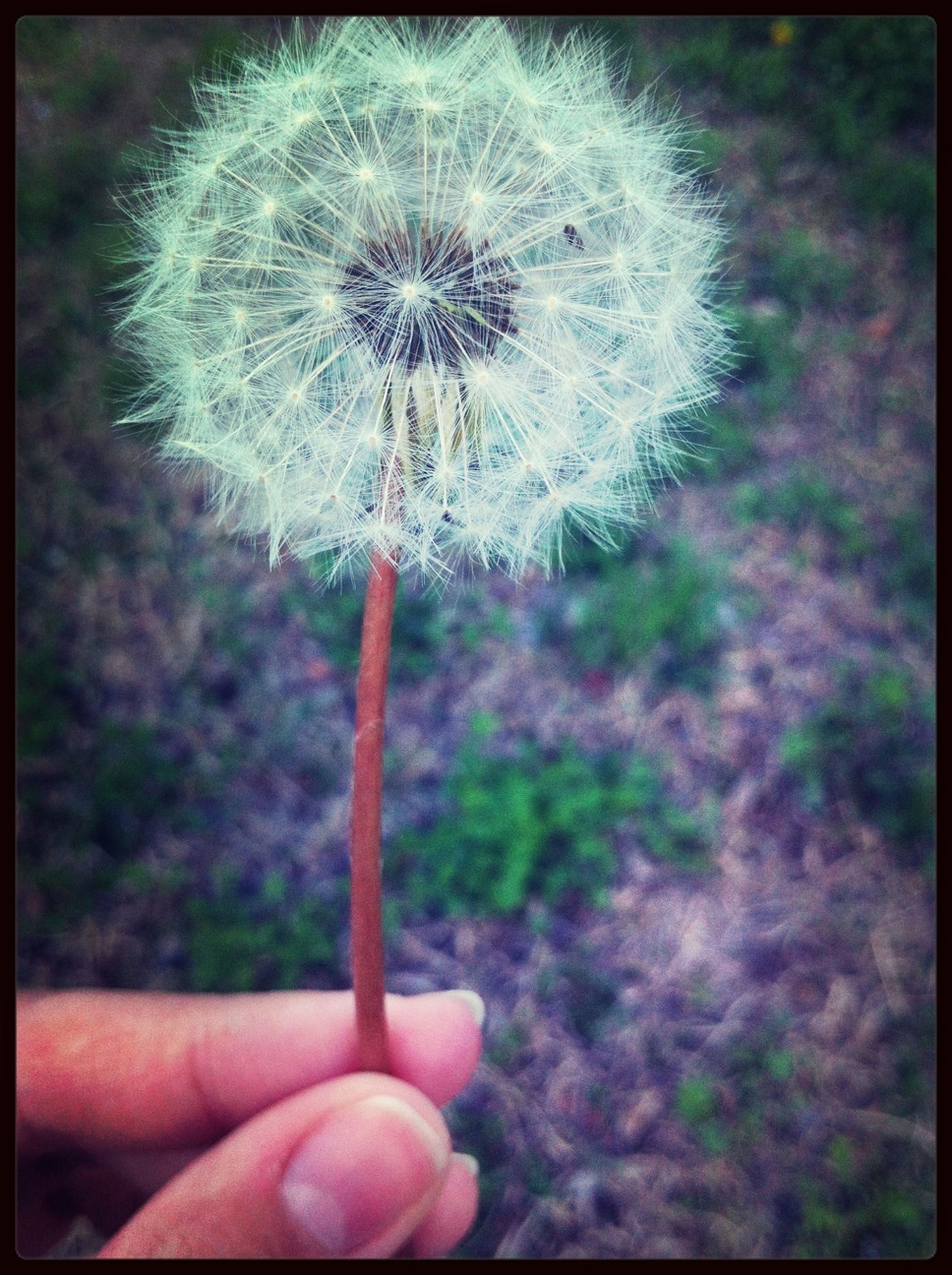 dandelion, flower, fragility, flower head, close-up, person, focus on foreground, single flower, growth, transfer print, freshness, holding, one person, softness, stem, nature, beauty in nature, auto post production filter, part of, plant
