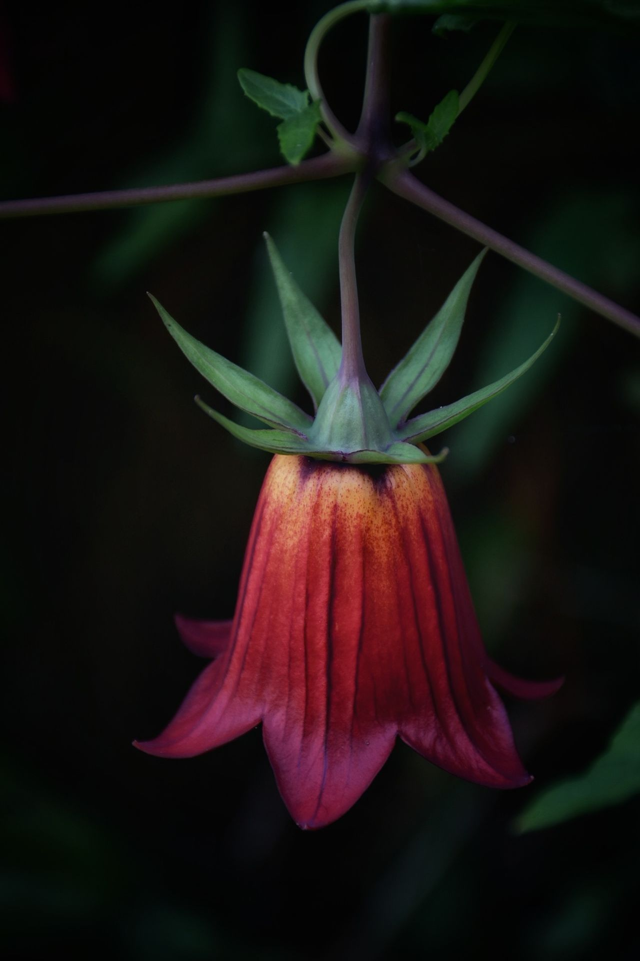 Flower Nature Plant Beauty In Nature Flower Head Fragility Outdoors Canarias Canarina Canariensis Bicacaro Beauty In Nature Españoles Y Sus Fotos Europe_gallery Canary ıslands Tenerife Island Tenerife España Nature Laurisilva Forest Laurisilva