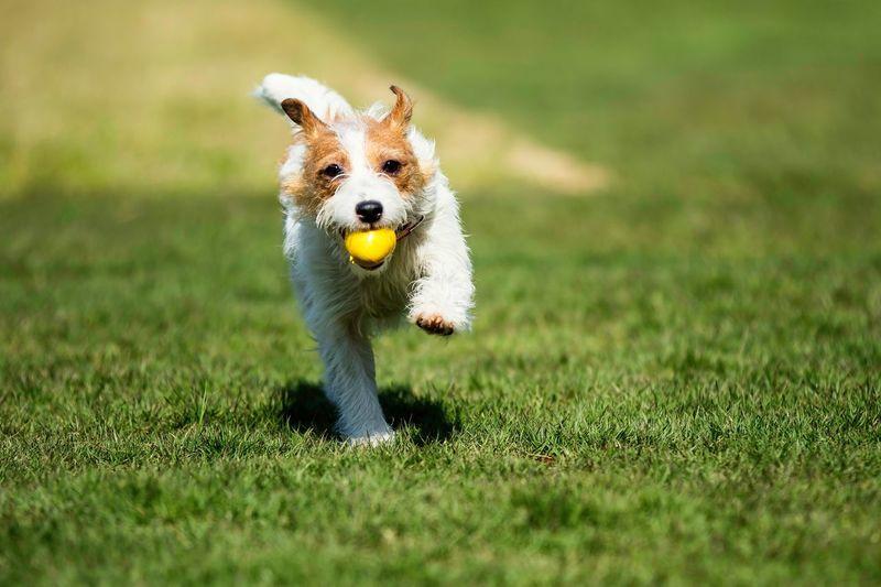 Dog Jackrussell Jackrussellterrier Kinoko Run Running Play Playing Come On! Field Glass Canon7dMK2 EF70-200mm F2.8L IS II USM Kobe Japan