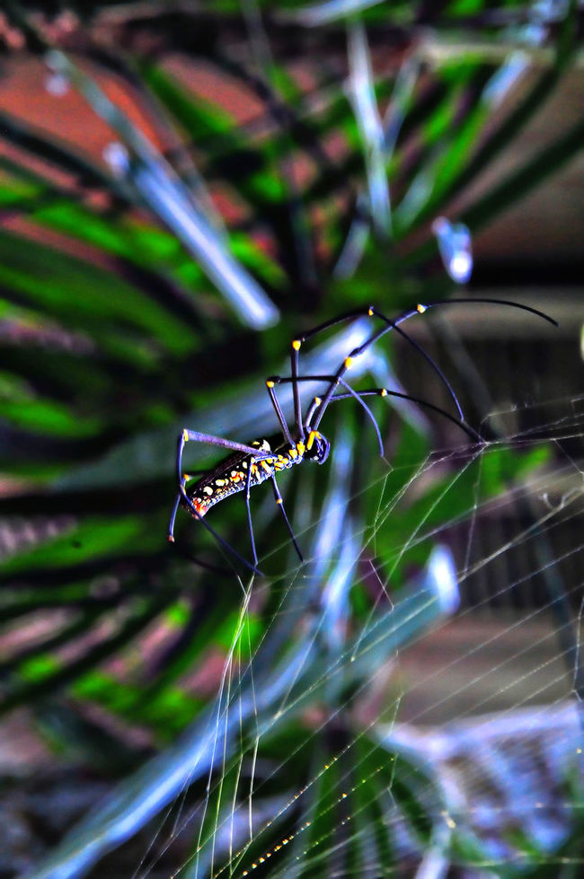 Close up of a black and yellow exotic spider spinning its web in Bali, Indonesia Animal Arachnid Arthropod Black And Yellow Orb Spider Close Up Colour Image Crawling Exotic Creatures Focus On Foreground Insect Large Low Angle View Nature Nobody One Animal Outdoors Spider Spider Web Spinning Vertical Yellow