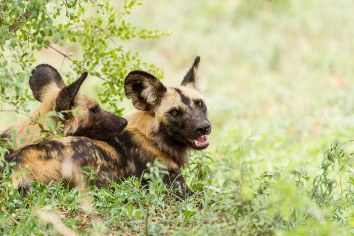 A pack of wild dogs resting in the treeline. Kruger National Park, South Africa Kruger Park Wild Dog Wild Dogs Wildlife Photography Animal Wildlife Animals In The Wild Nature Safari Wildlife