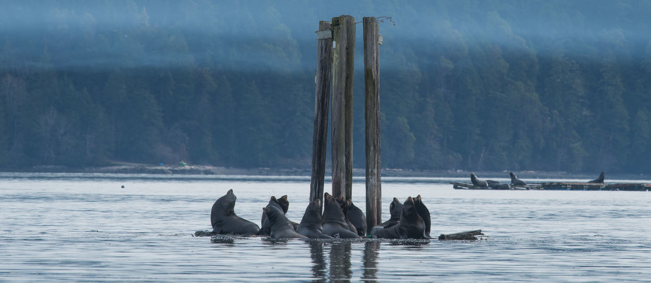 Sealions at fanny bay Animal Animal Themes Animals In The Wild British Columbia Canada Fanny Bay Great Bear Rainforest Large Group Of Animals Life Marine Life Marine Mammals Natural Habitat Ocean Sea Sea Lions Sealion  Sealions Vancouver Island Water Wild Wildlife Wildlife & Nature