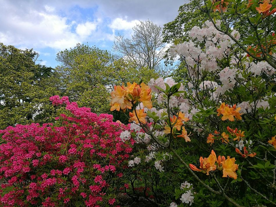 Springtime Spring Flowers Spring Garden Spring Day Spring Rhododendron Azalea Azaleas Smartphonephotography HuaweiP9 Multi Colored Spring Colours Flowers,Plants & Garden Kew Gardens Nature Beauty In Nature Close-up Outdoors Growth Freshness Day Flower Flowers Nature_collection Nature Photography