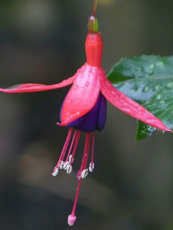 Flower Fragility Water No People Nature Close-up Beauty In Nature Red Pink Color Freshness Flower Head Plant Day Multi Colored Outdoors Fuschia EyeEmNewHere