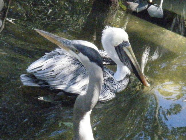 Birds Beak Water River Swimming Green