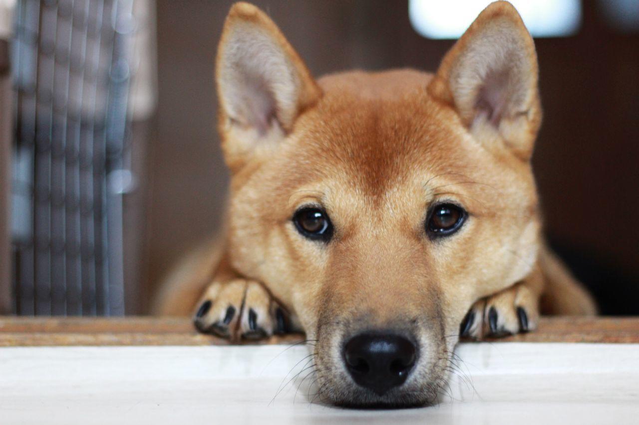 Shiba Inu Dog 시바이누 시바견 땅콩 개 Animals Lovely Puppy 강아지 Sense Feeling Cute