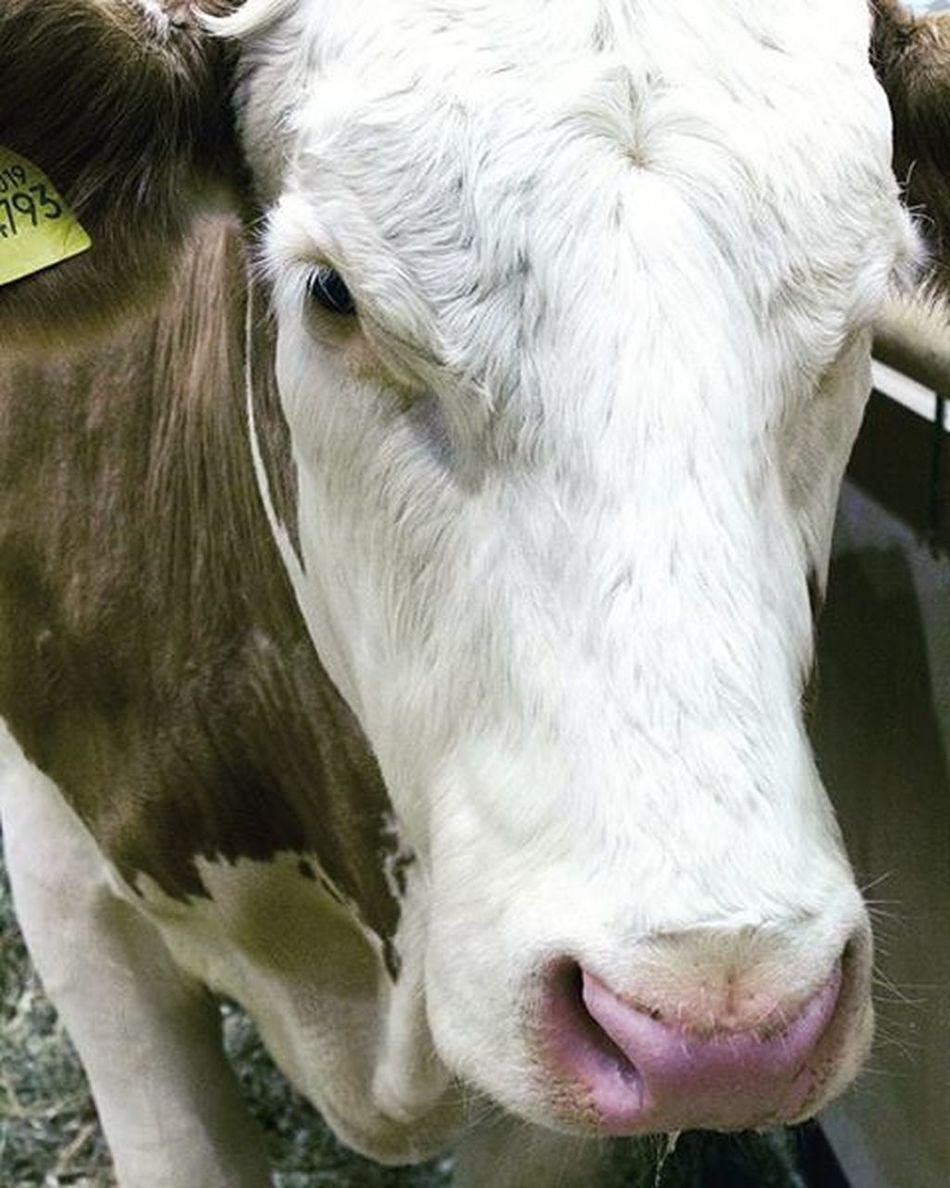 Cow Internationalgreenweek Berlin Germany 2016 Animal Portrait