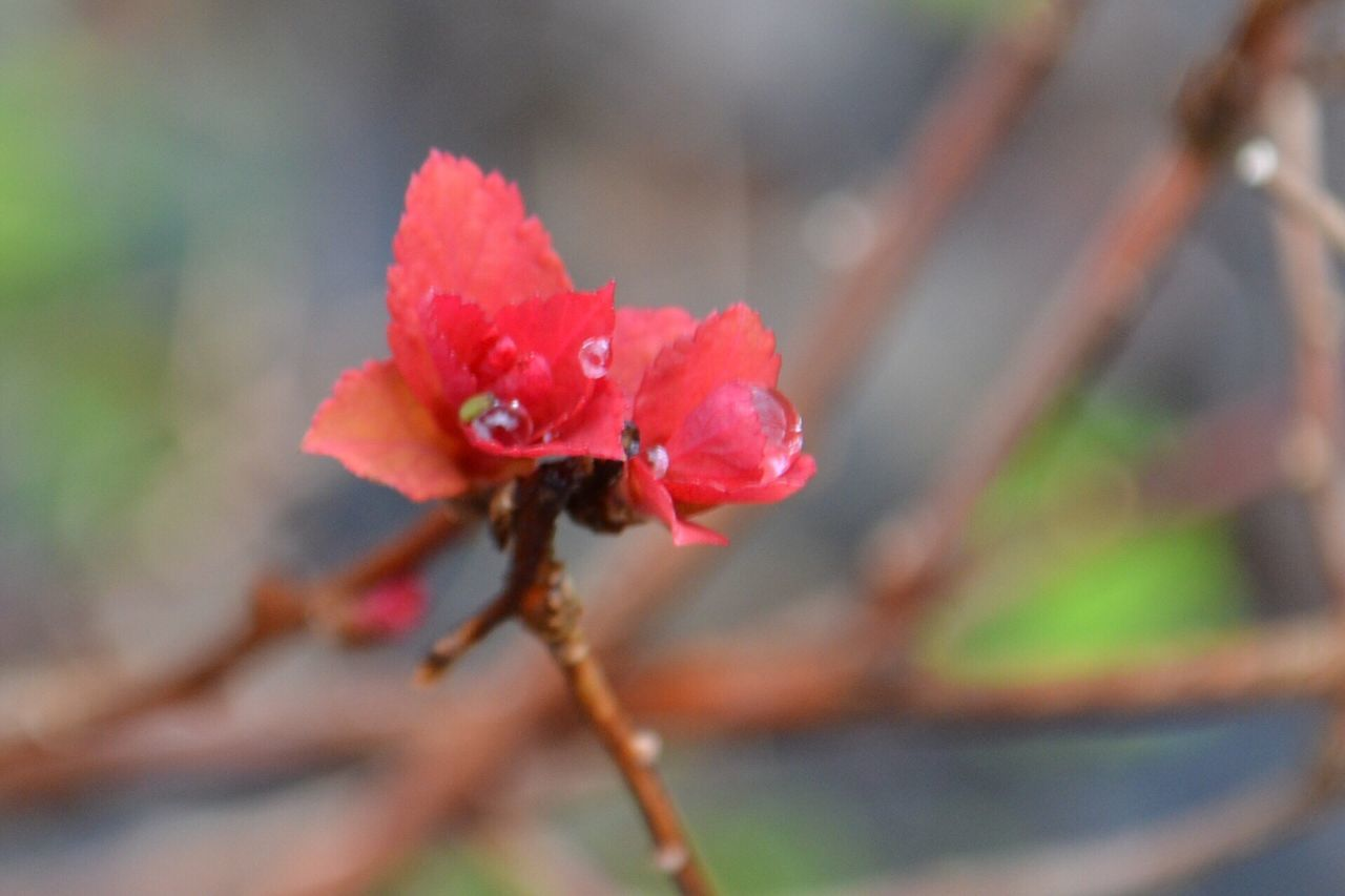 flower, growth, fragility, petal, nature, beauty in nature, flower head, red, plant, close-up, day, no people, freshness, outdoors, springtime, pink color, water, blooming, hibiscus