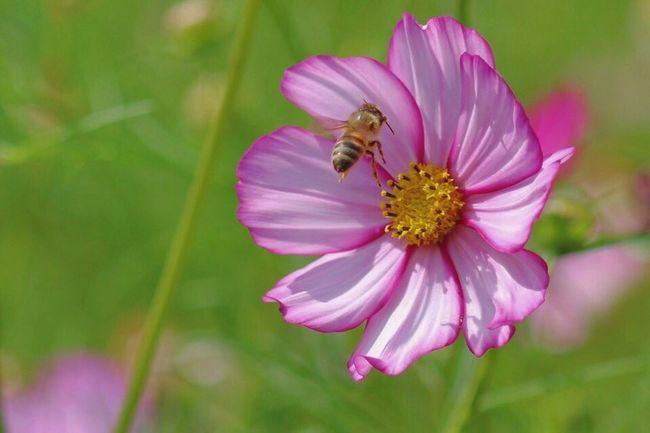 🐝 コスモス Flower Canon70d Canon_camera