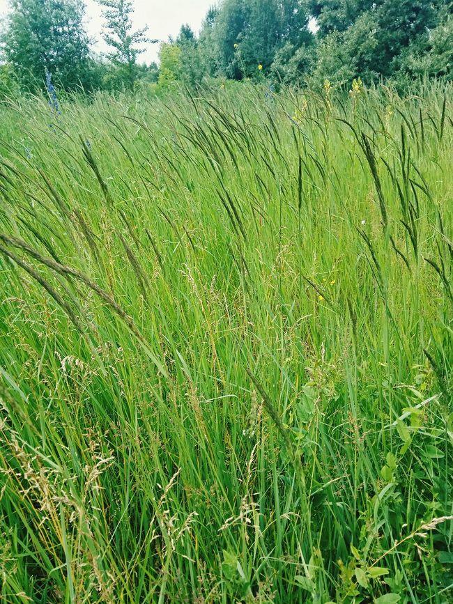 трава Русское поле лето зелень