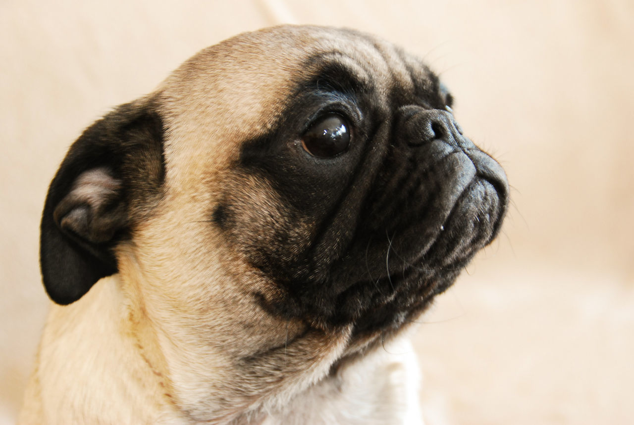 dog, pets, pug, mammal, domestic animals, one animal, close-up, young animal, animal themes, no people, portrait, indoors, day