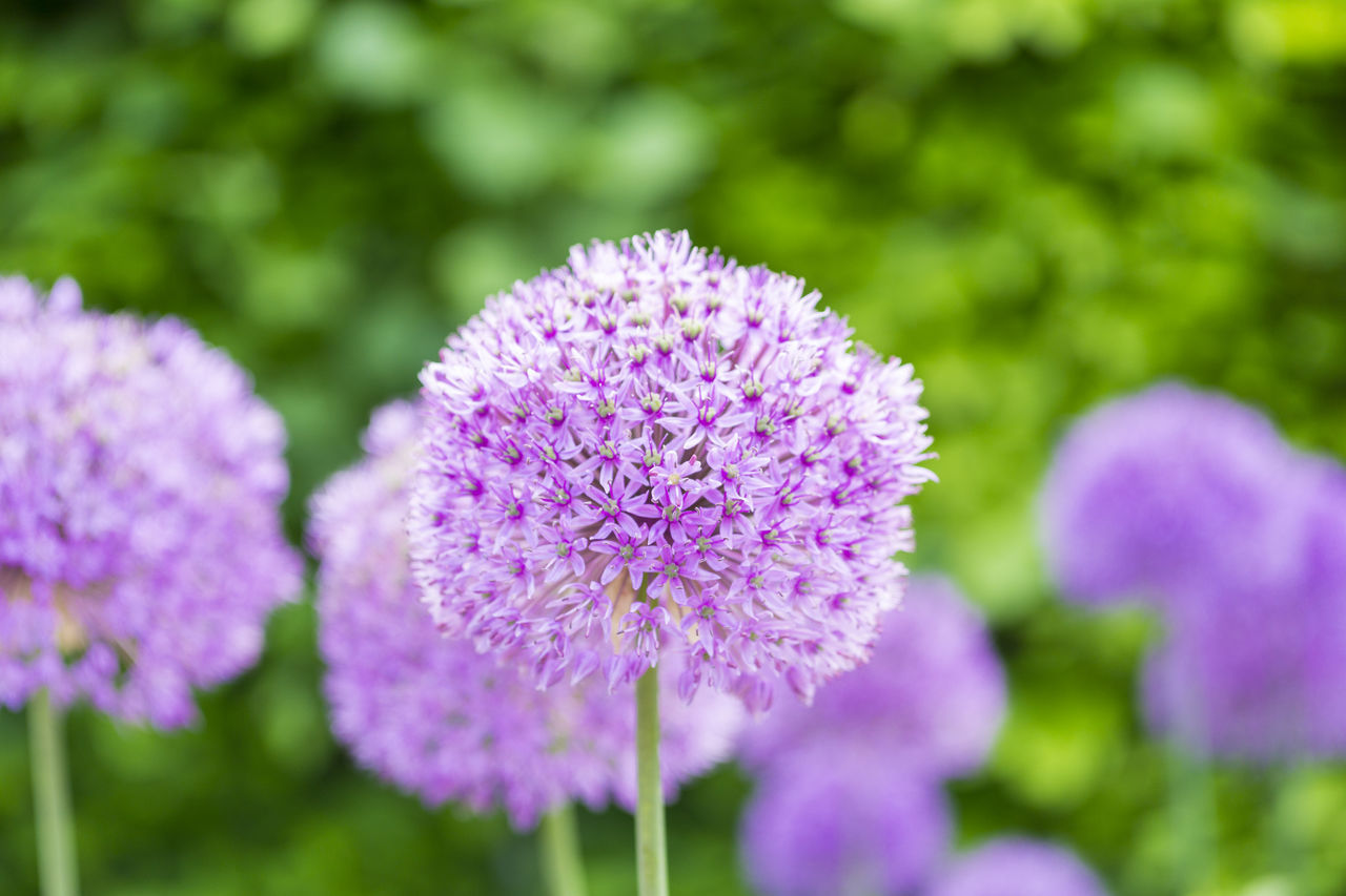 Allium Globemaster Flower Allium Globemaster ASIA Blooming Chelsea Colors Colourful Flower Head Flowers Garden Giant Onion Growing Growth May Nature Plants Purple Round Violet Violet Flowers