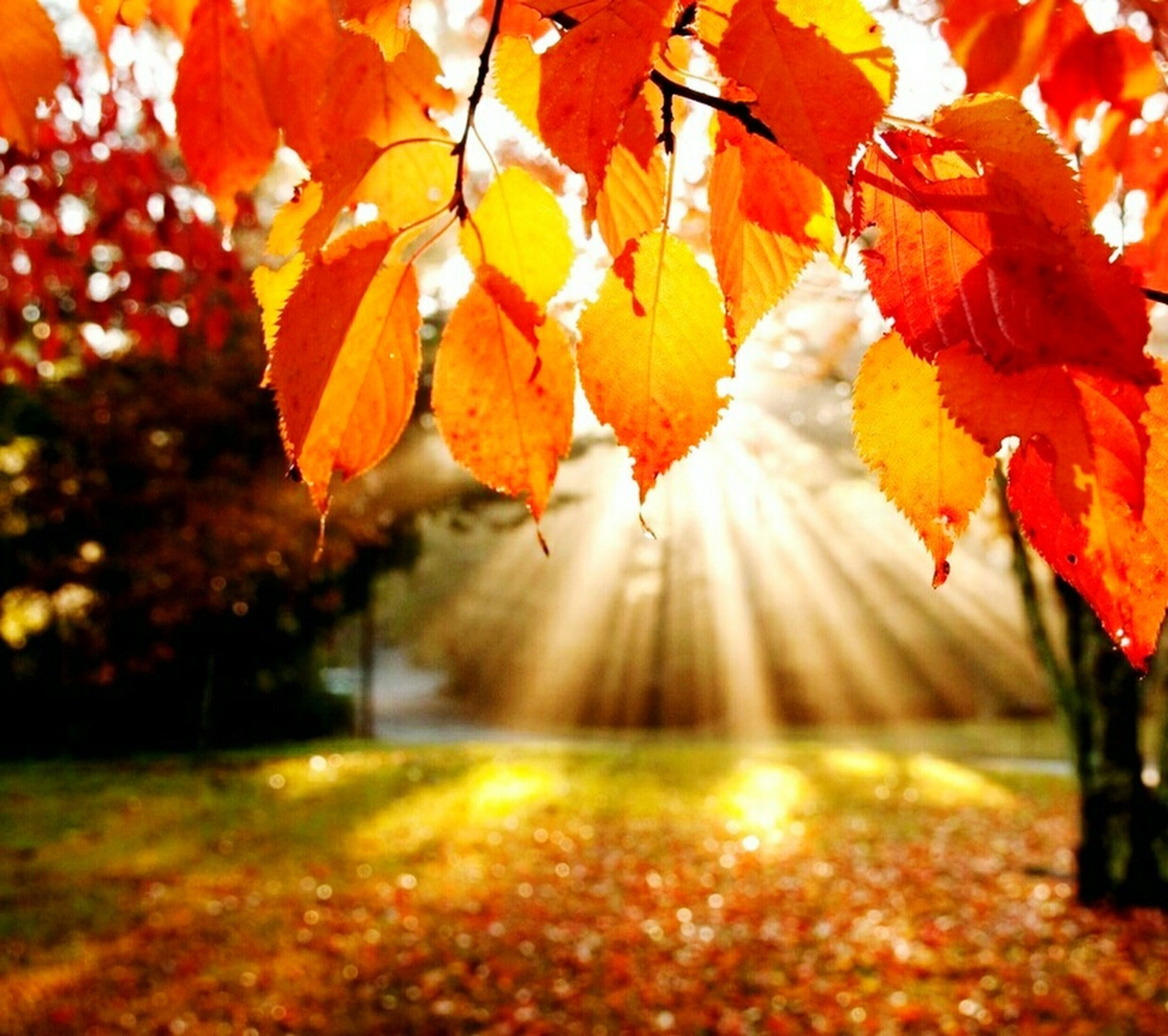 autumn, change, season, leaf, tree, orange color, leaves, focus on foreground, branch, nature, selective focus, maple leaf, red, beauty in nature, close-up, growth, tranquility, leaf vein, maple tree, fallen
