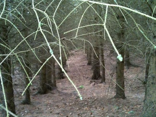 Tree avenue. Tree Trunks Spidery Hidden Places Drizzling Foreboding