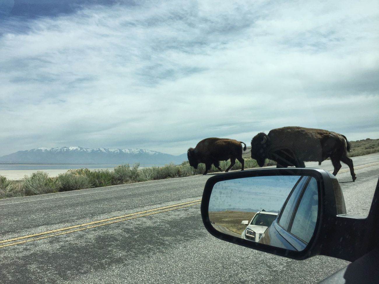 Road hazard in northern Utah ( they have the right of way ). EyeEm Nature Lover Wilderness Adventures Bison