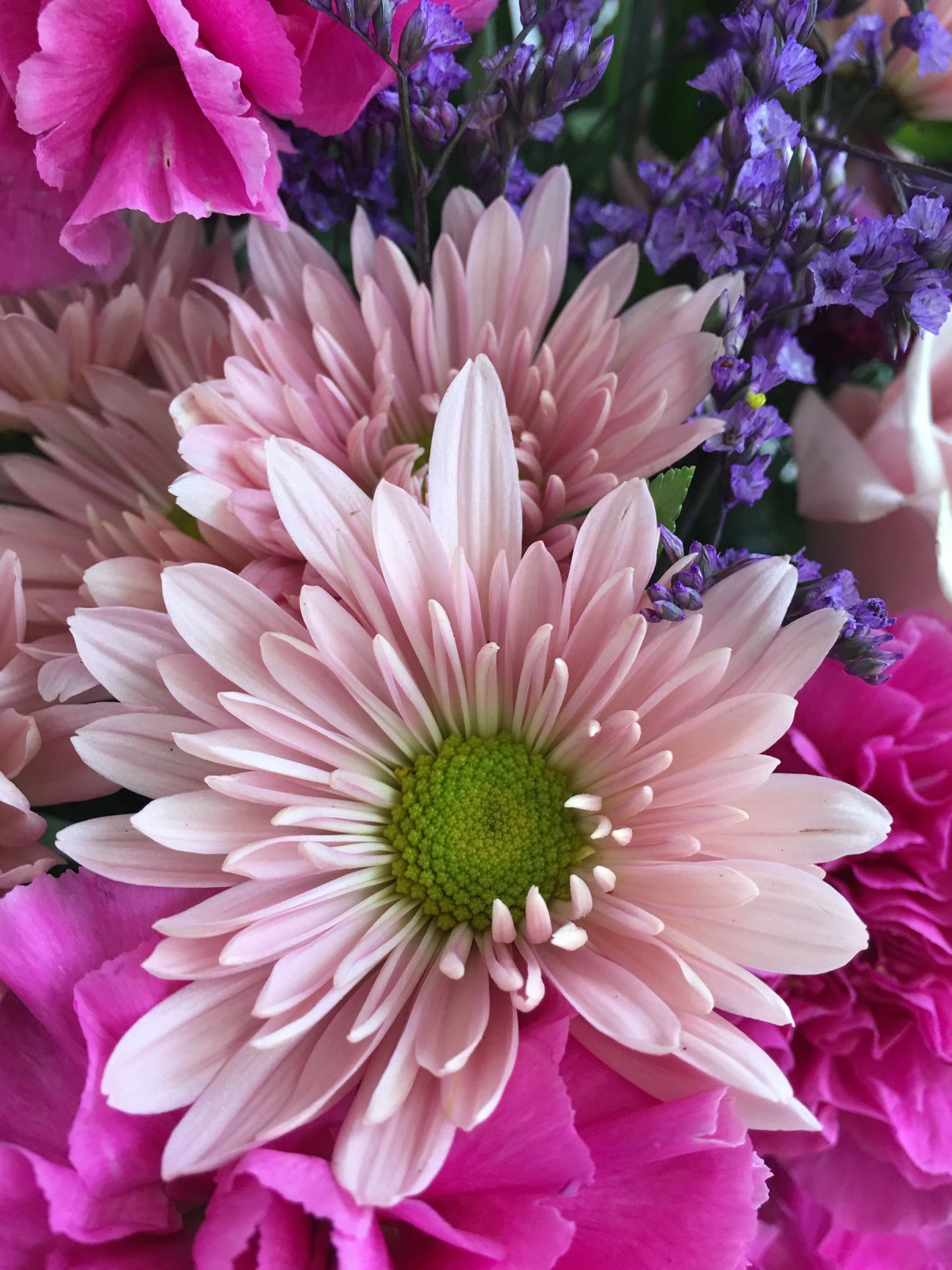 Flower Petal Fragility Beauty In Nature Freshness Flower Head Nature Purple Pink Color Growth No People Day Close-up Outdoors Blooming Pink Daisy