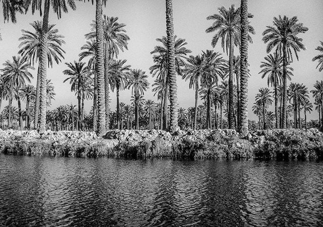 Canon 400d Canon400d Monochrome Blackandwhite Basrah Iraq Shattalarab Palms