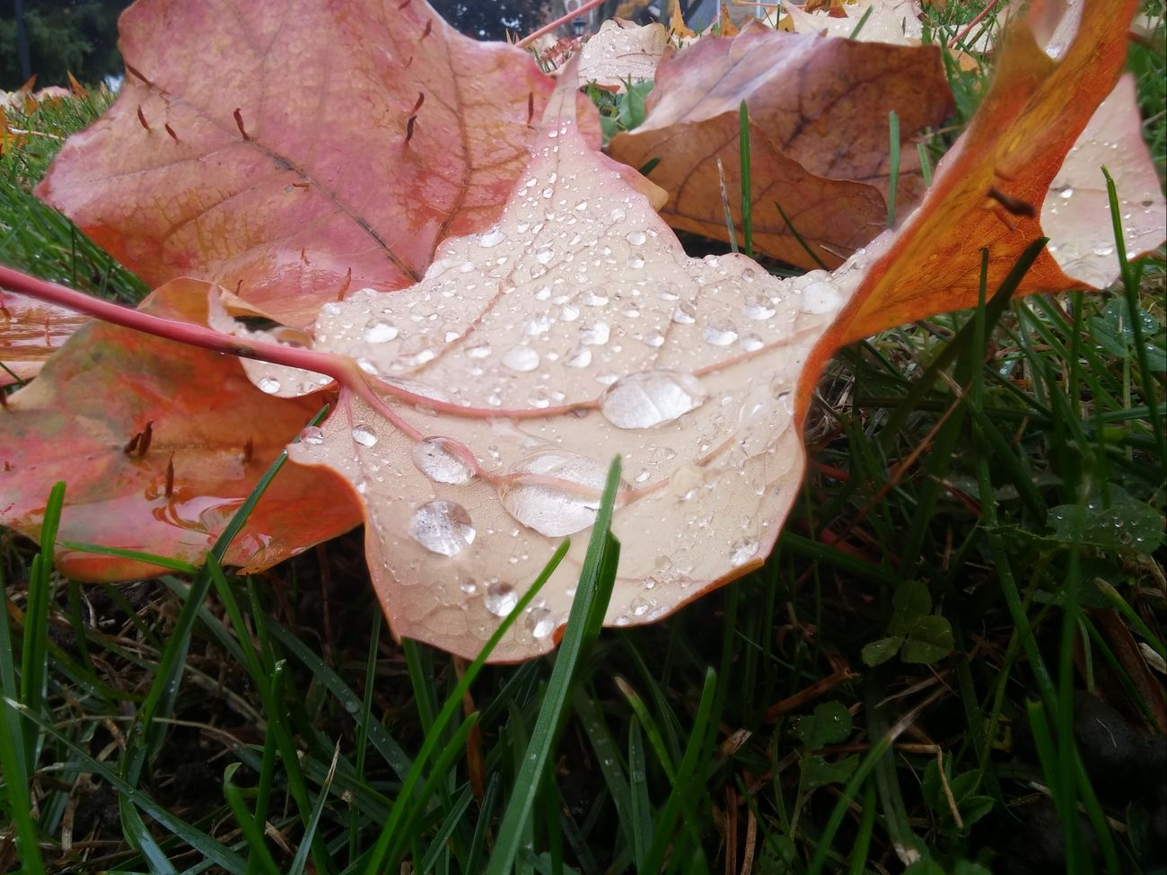 Fall Leaves Fall Beauty Fall Collection Fallen Leaves Raindrops On Leaves . Raindrops Eyem Best Shots Nature_collection EyeEm Best Shots - Nature Eyeemcolours EyeEm Best Shots LGg3photography LGG3 Water