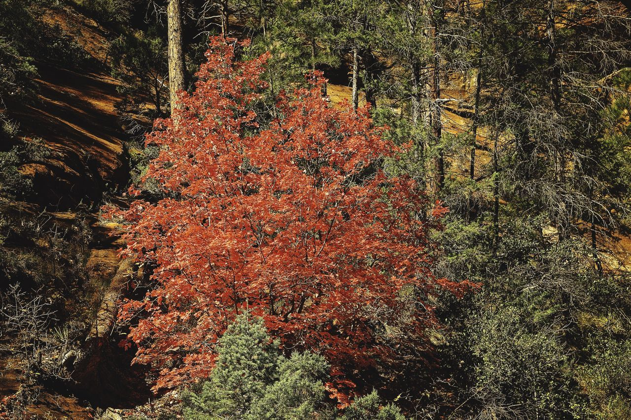 tree, nature, autumn, growth, beauty in nature, change, no people, tranquility, forest, tranquil scene, scenics, outdoors, day