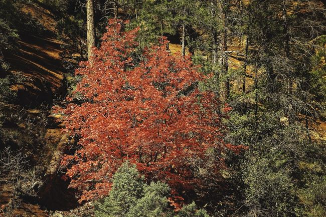 West Fork Canyon, near Sedona, AZ is known for its Autumn color. Red and gold oak leaves play well with the red soil that characterizes Sedona. Fall Beauty Autumn Color fall color Red Oak Leaves oak tree