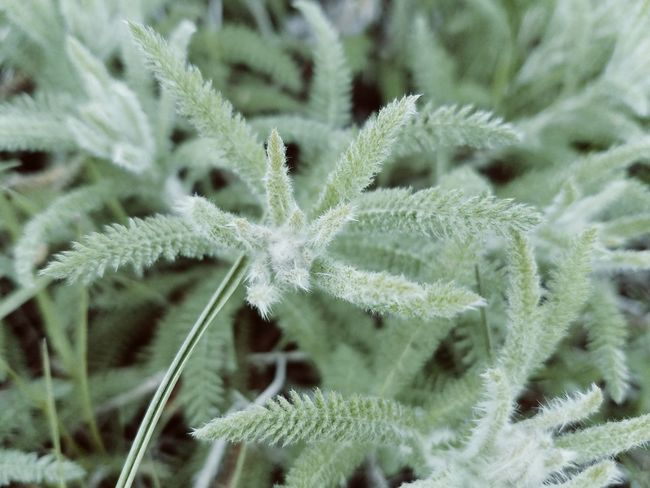 Nature_collection Plant Life Fuzzy Silver Grass Up Close & Personal