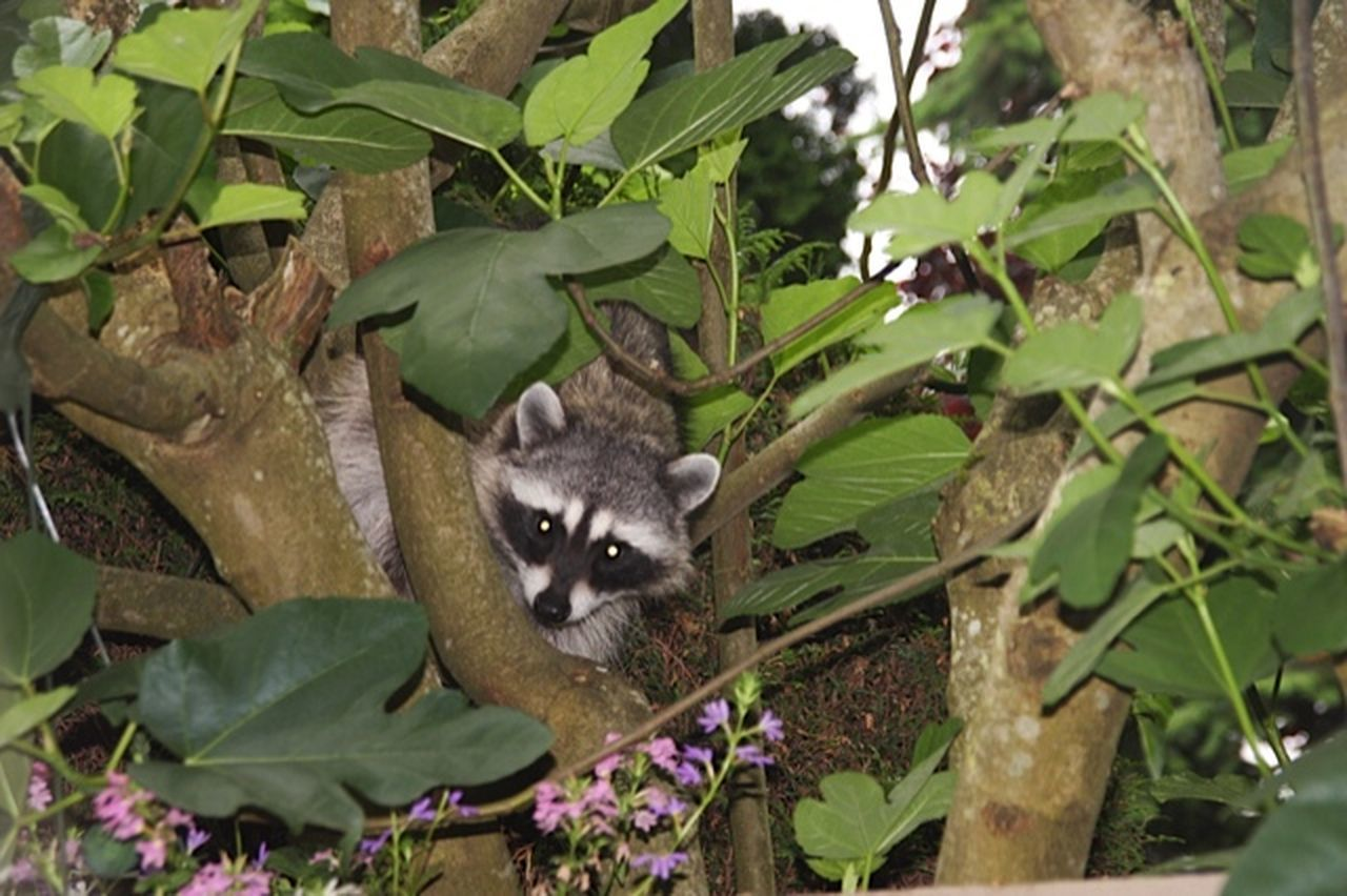 Racoon Hello I want grapes.