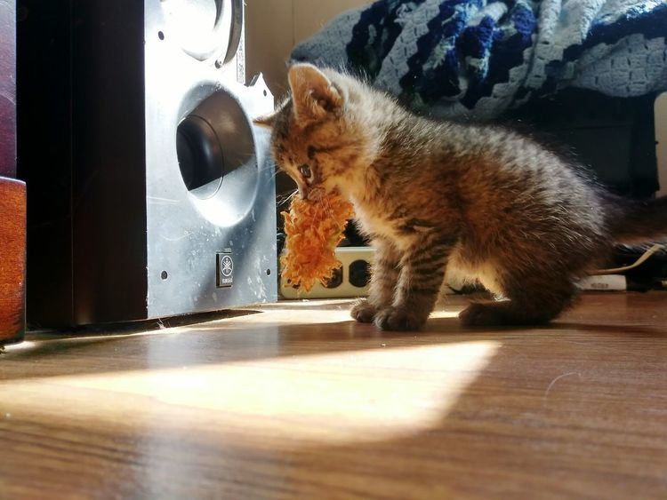 Kitten Pets Cat