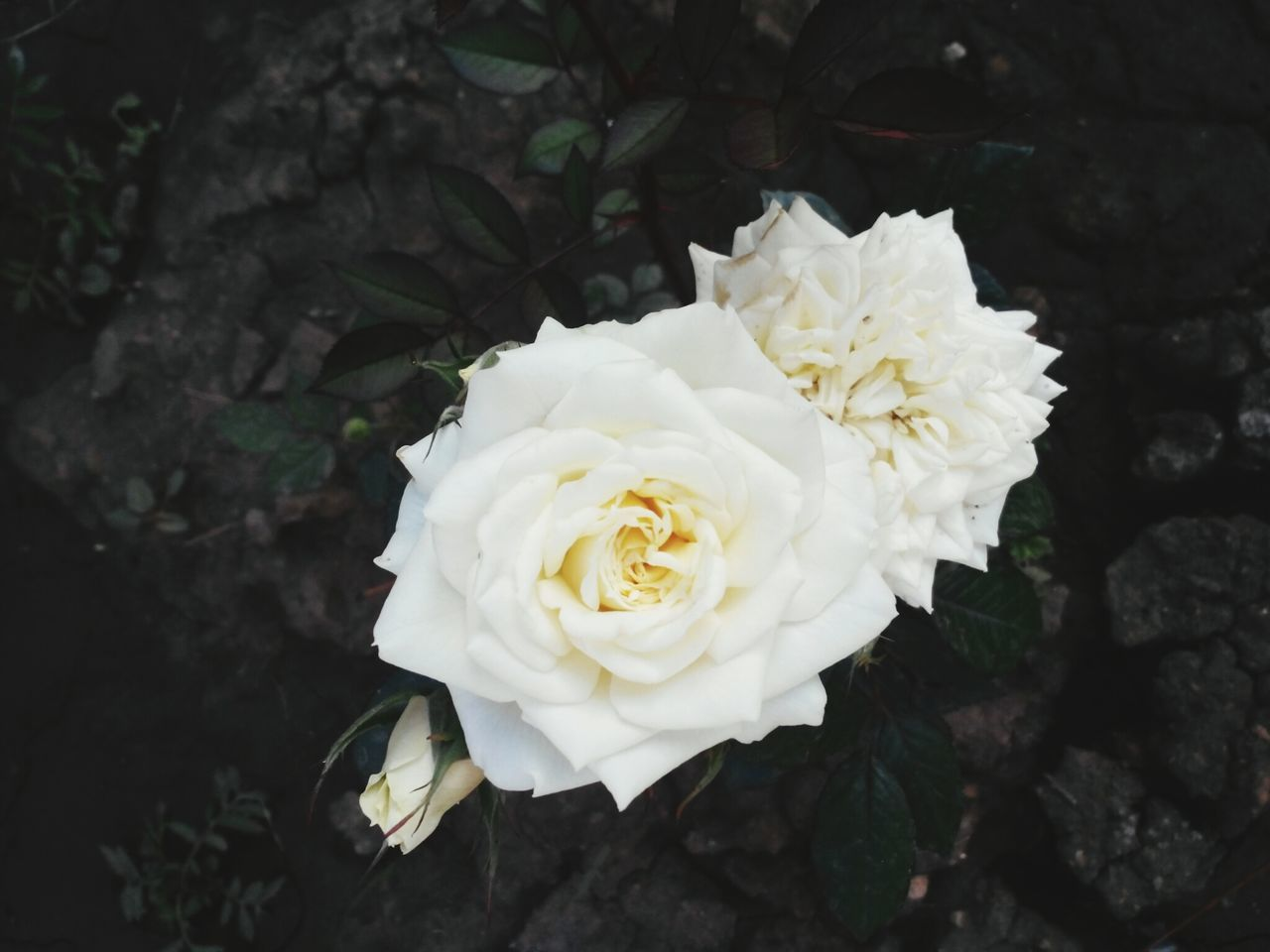 Beautiful stock photos of roses, Flower, beauty In Nature, bloom, blooming