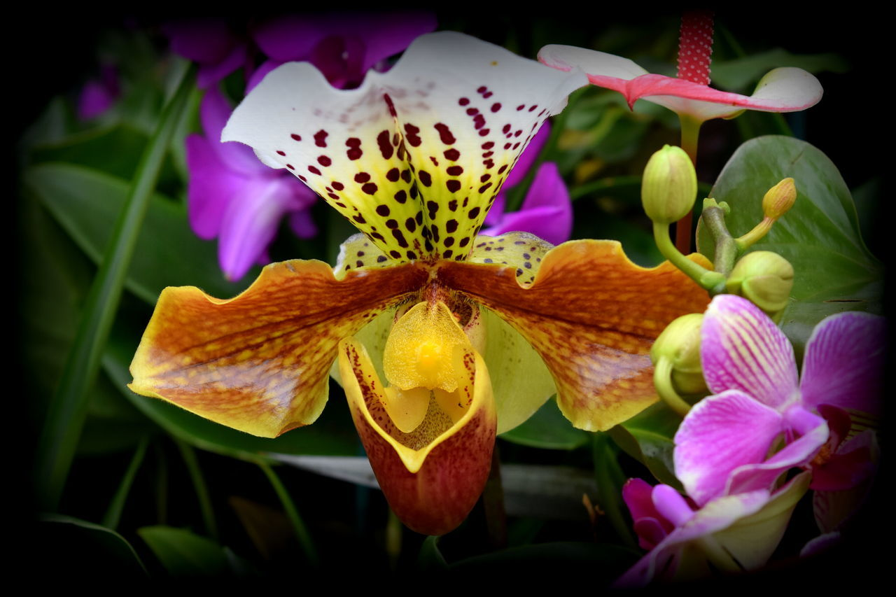 Beauty In Nature Blooming Close-up Flower Flower Head Fragility Freshness Growth Nature No People Orchid Orchid Blossoms Orchid Flower Orchids Orchids By Dvate Petal Plant