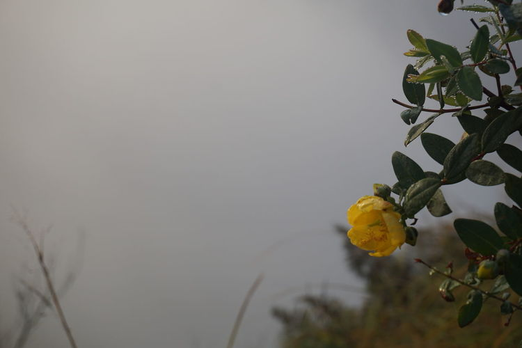 Yellow wildflower on top of mountain Beauty In Nature Chiang Rai Close-up Cloudy Dao Day Dew Doi Drop Drop Of Water Food Freshness Fruit Grass Growth Holiday Leaf Nature No People Outdoors Phu Top Of Mountains Tree Windy Winter