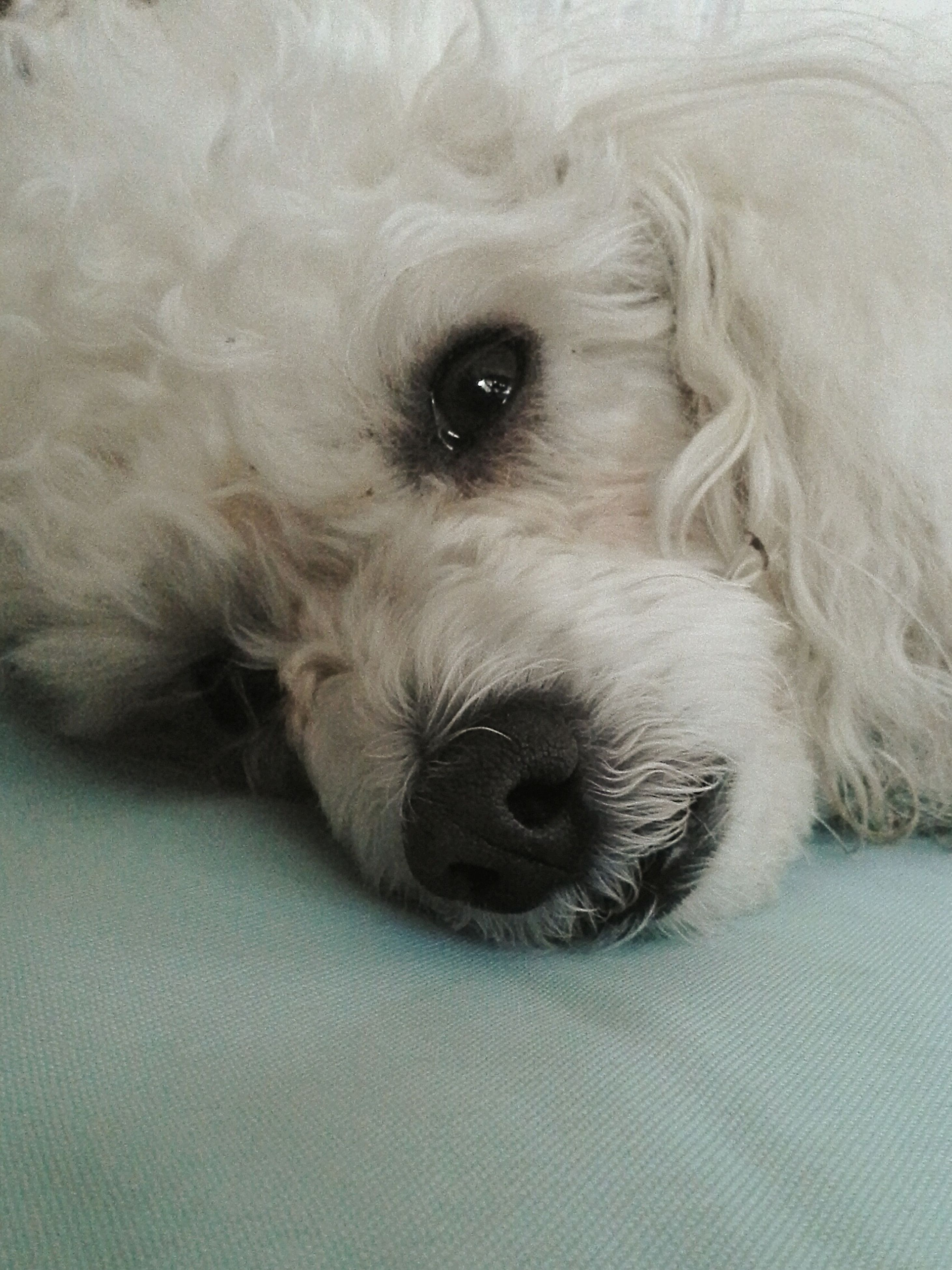 dog, one animal, pets, animal themes, domestic animals, indoors, mammal, relaxation, resting, animal head, lying down, close-up, animal body part, portrait, animal hair, bed, white color, looking at camera, no people, high angle view