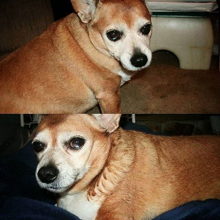 Old photos of Bubby, cause I miss him so much. ❤ I think these were in 2013. He was the only animal that would let me take as many photos of him as I wanted. Which of course led to thousands of photos of him. Lol. 🐶💗 RestinPeaceBubby Chihuahua Dachshund Bubby Mysatan Imissyou