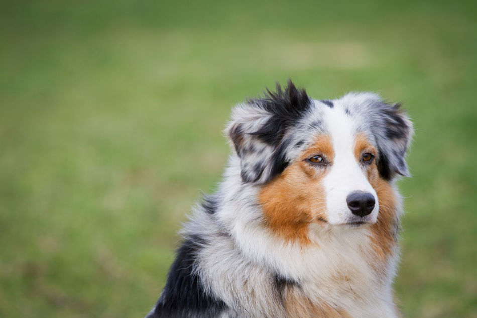 Alertness Animal Portrait Animal Themes Australienshepard Beauty Blurred Background Close-up Copy Space Day Dog Domestic Animals Looking At Camera Mammal No People One Animal Outdoors Pets Portrait Shepherd