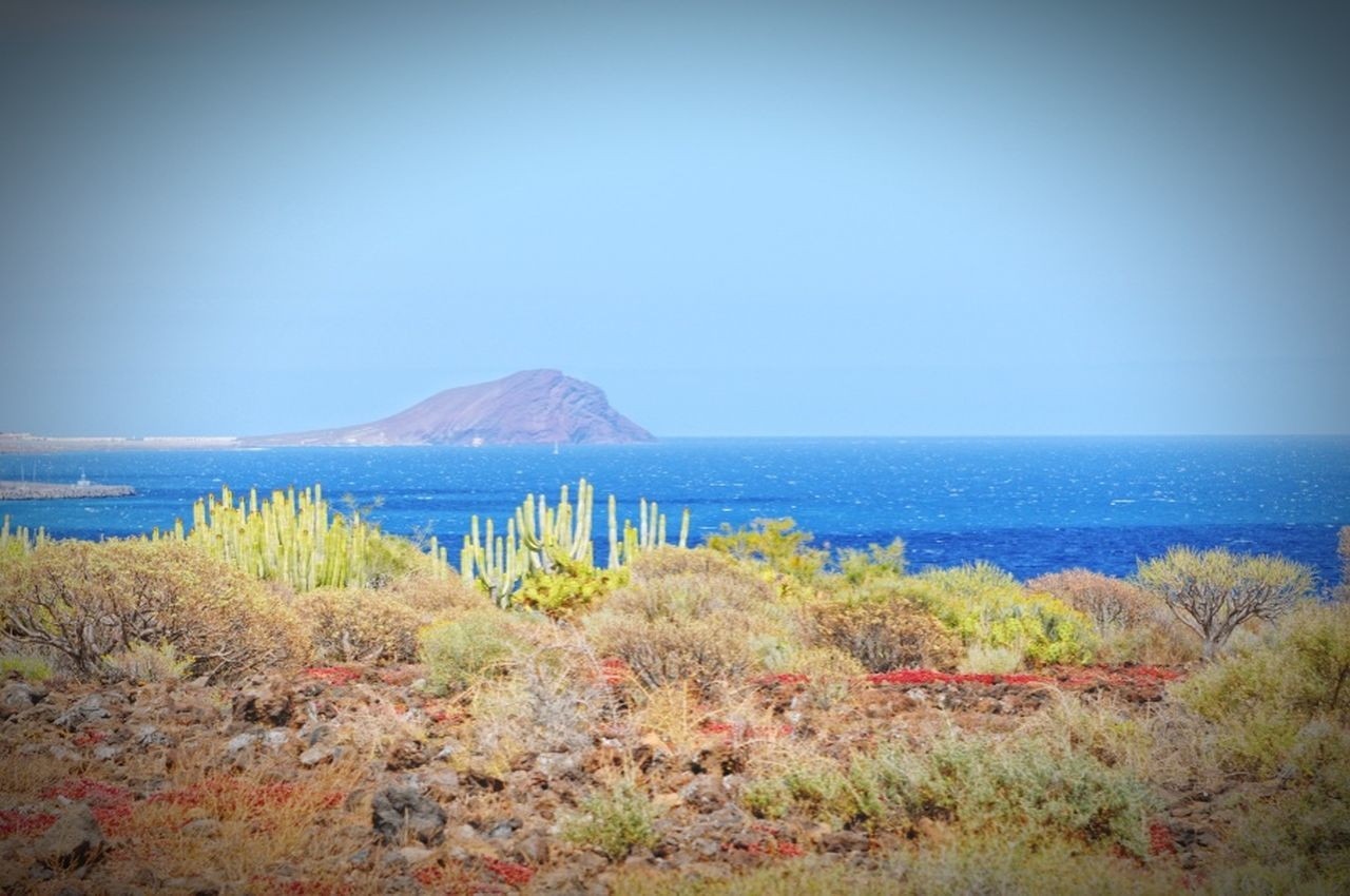 Tenerife. landscape of montana amarilla region with its typical cactus and succulents. Canary Canary Islands Teneriffa Cactus Montana Amarilla Succulents