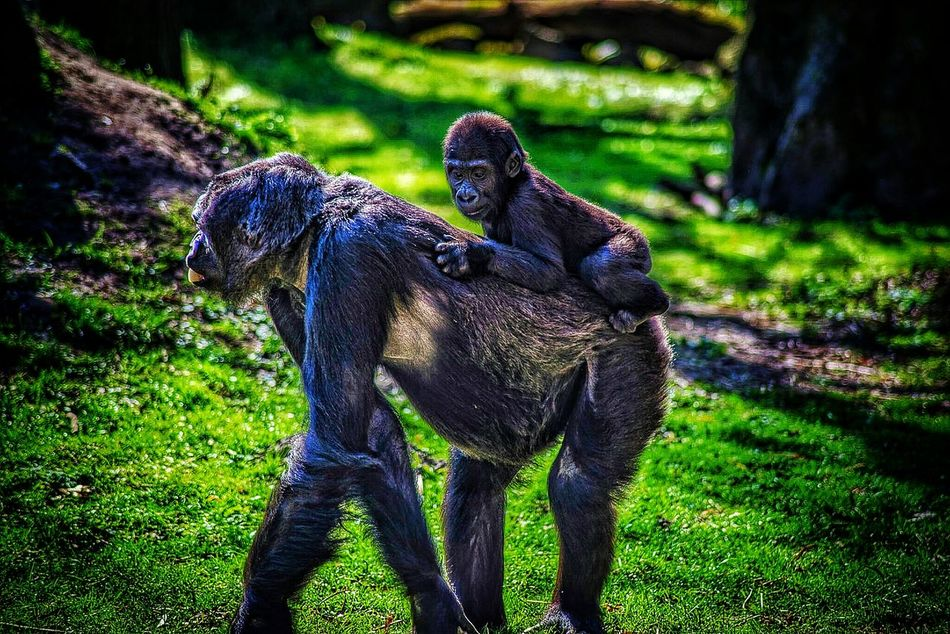 Primat Ape Gorilla Baby Animal EyeEm Nature Lover Full Frame Nikon D600 Eyeemphotography Sunlight EyeEm Gallery EyeEm New Here EyeEmNewHere Backgrounds Grass Sunlight Outdoors Animal Themes Animals In The Wild Shadow Field Nature Day No People Mammal