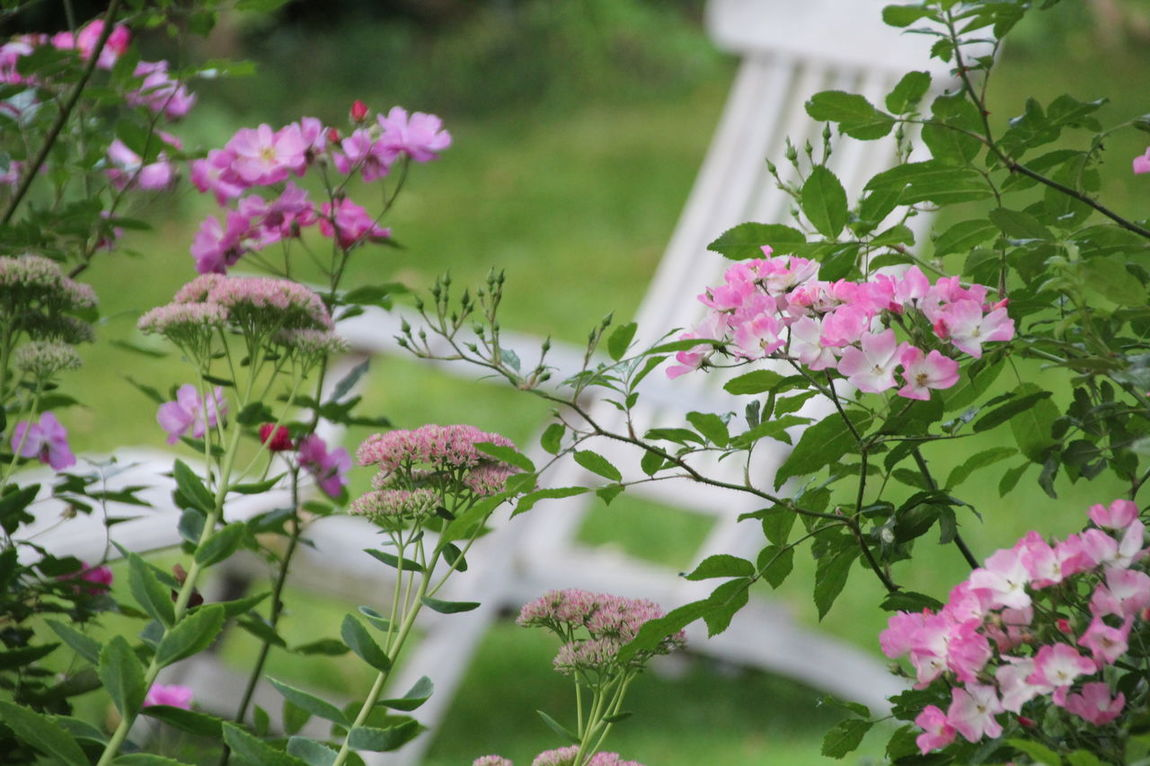 Deck Chair Beauty In Nature Blooming Flower Fragility Freshness Garden Chair Pink Roses Little