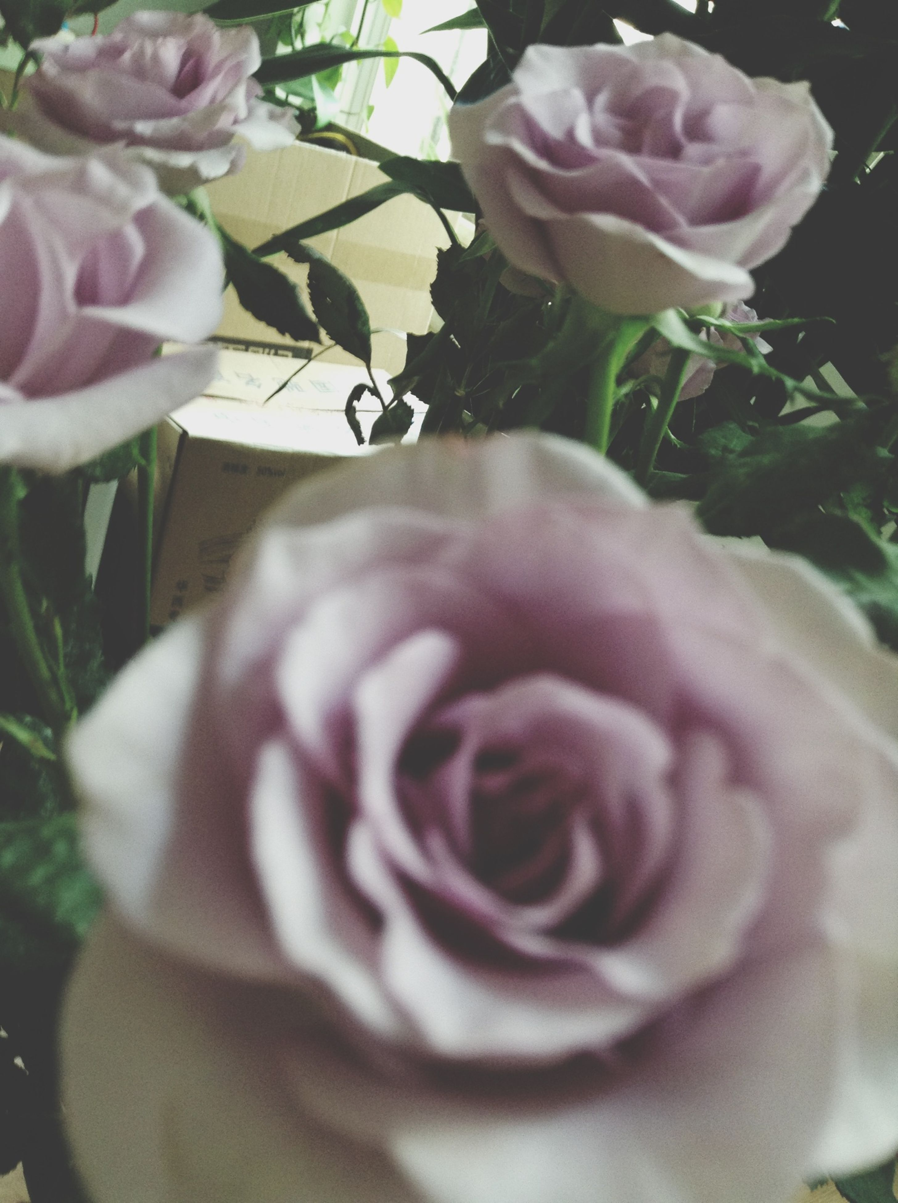 flower, petal, freshness, fragility, flower head, rose - flower, growth, beauty in nature, close-up, blooming, pink color, nature, plant, in bloom, focus on foreground, rose, blossom, single flower, botany, day