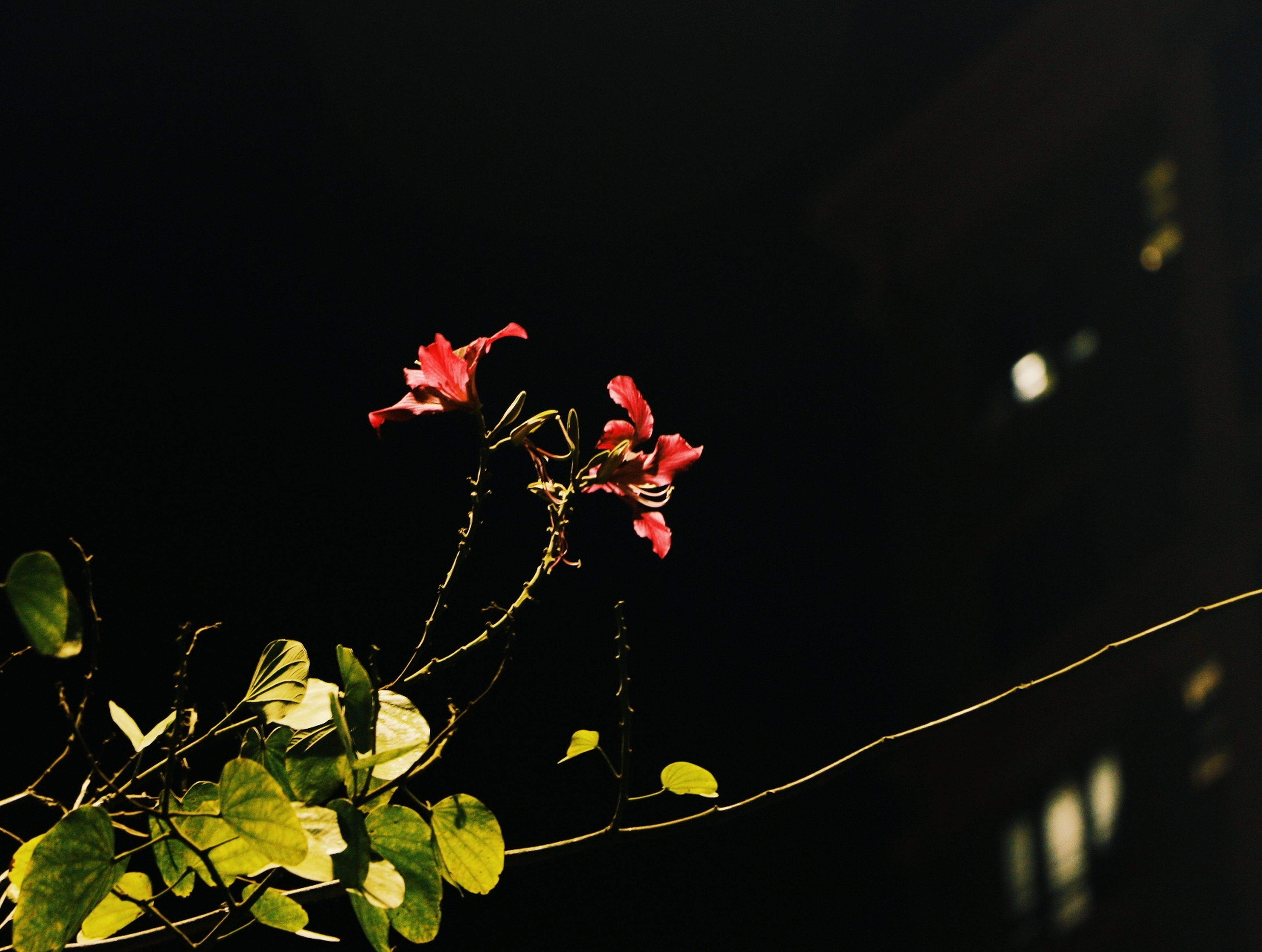 nature, growth, fragility, flower, beauty in nature, no people, freshness, outdoors, night, animal themes, close-up, flower head