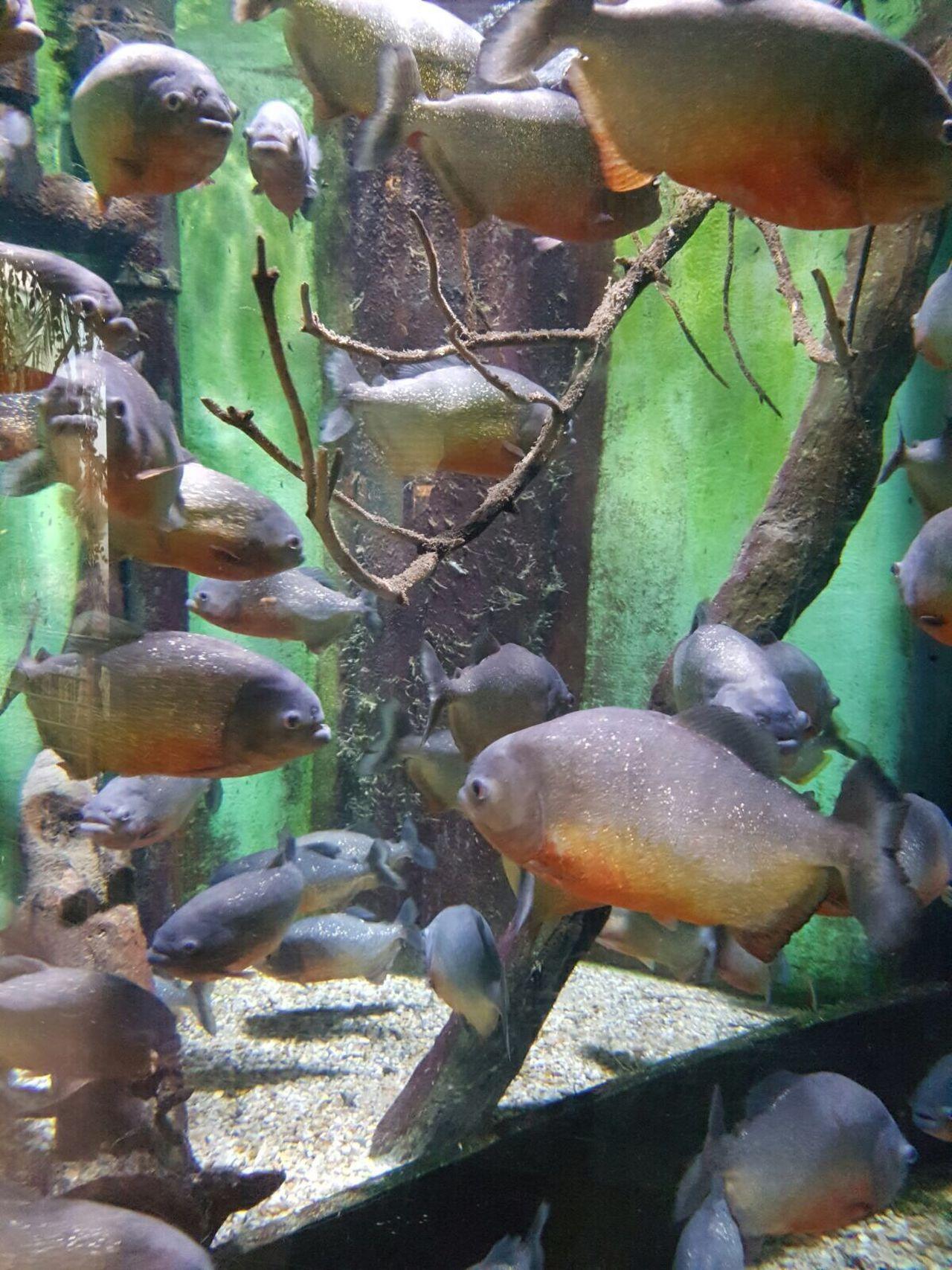 Piranhas Beautiful But Deadly Fish Fish Animals Scales And Fins Aquarium