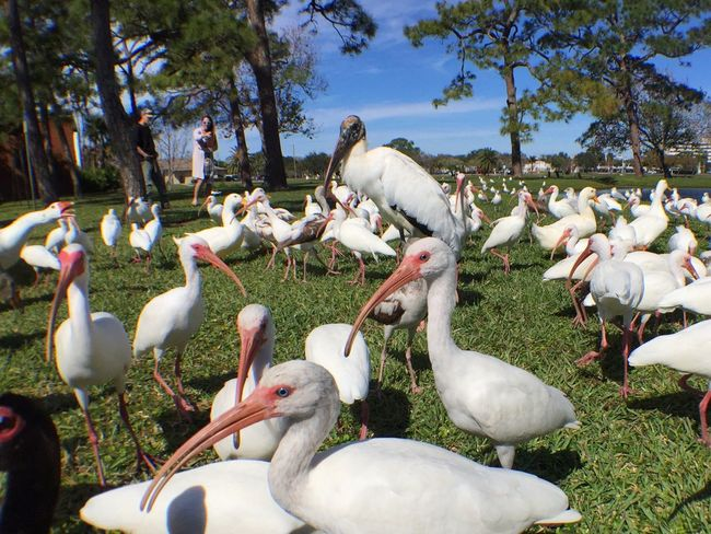 A bevy of birds Wood Stork Curlew Seagull Seagulls Ducks Ducks At The Lake Geese Melbourne Florida Nature's Diversities