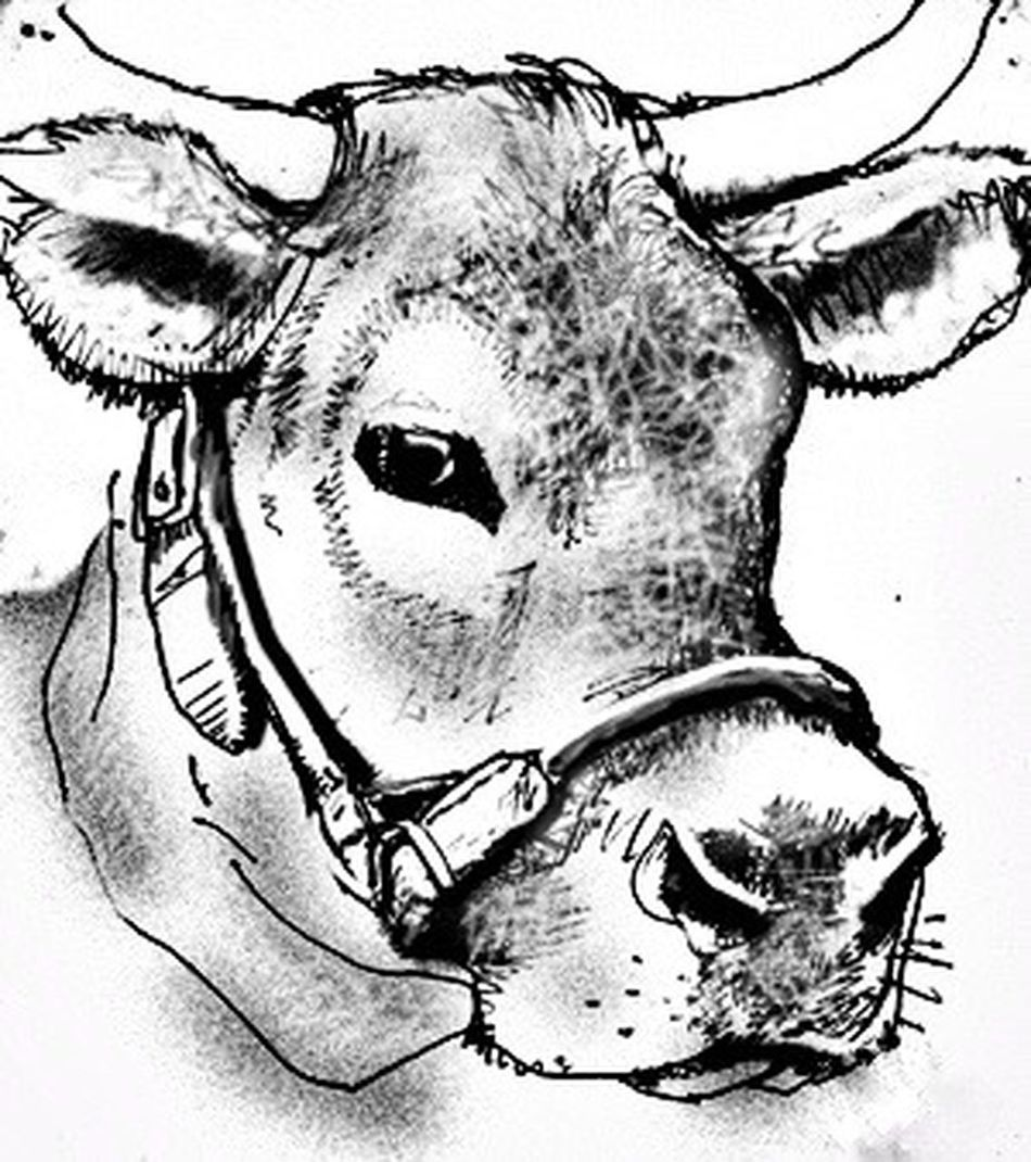 Steer Cow Texas Cowgirl My Artwork Pencil Drawing Where's The Beef? Moo Mammal Bovine Beauty