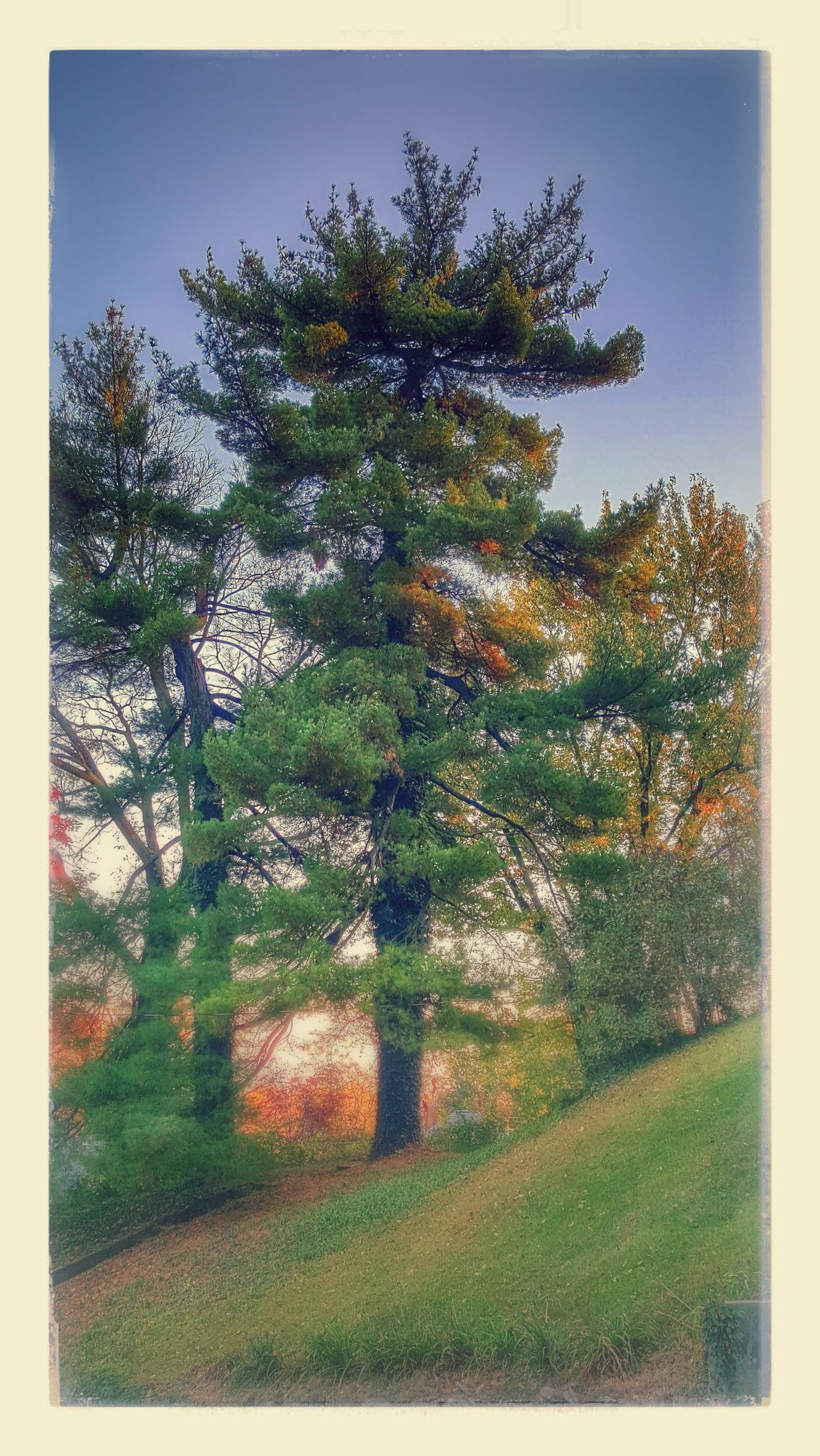 My girl, my girl, don't lie to me Landscape Tree Trees Pine Sleep Protecting Where We Play Samsungphotography