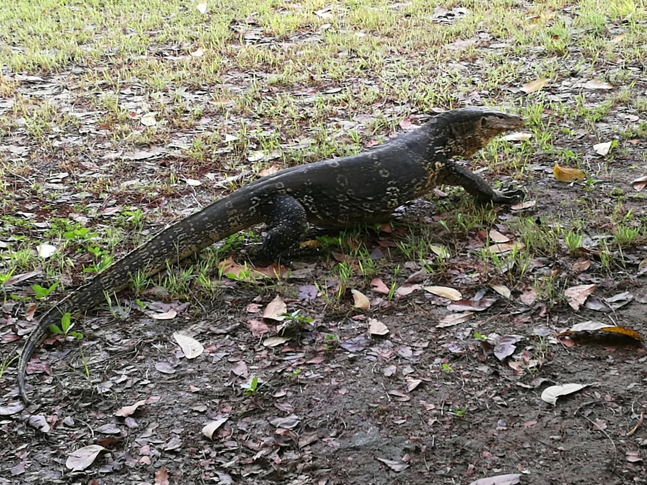 Animal Themes One Animal Animals In The Wild High Angle View Day Reptile No People Outdoors Animal Wildlife Nature Grass Close-up Iguana Love To Take Photos ❤