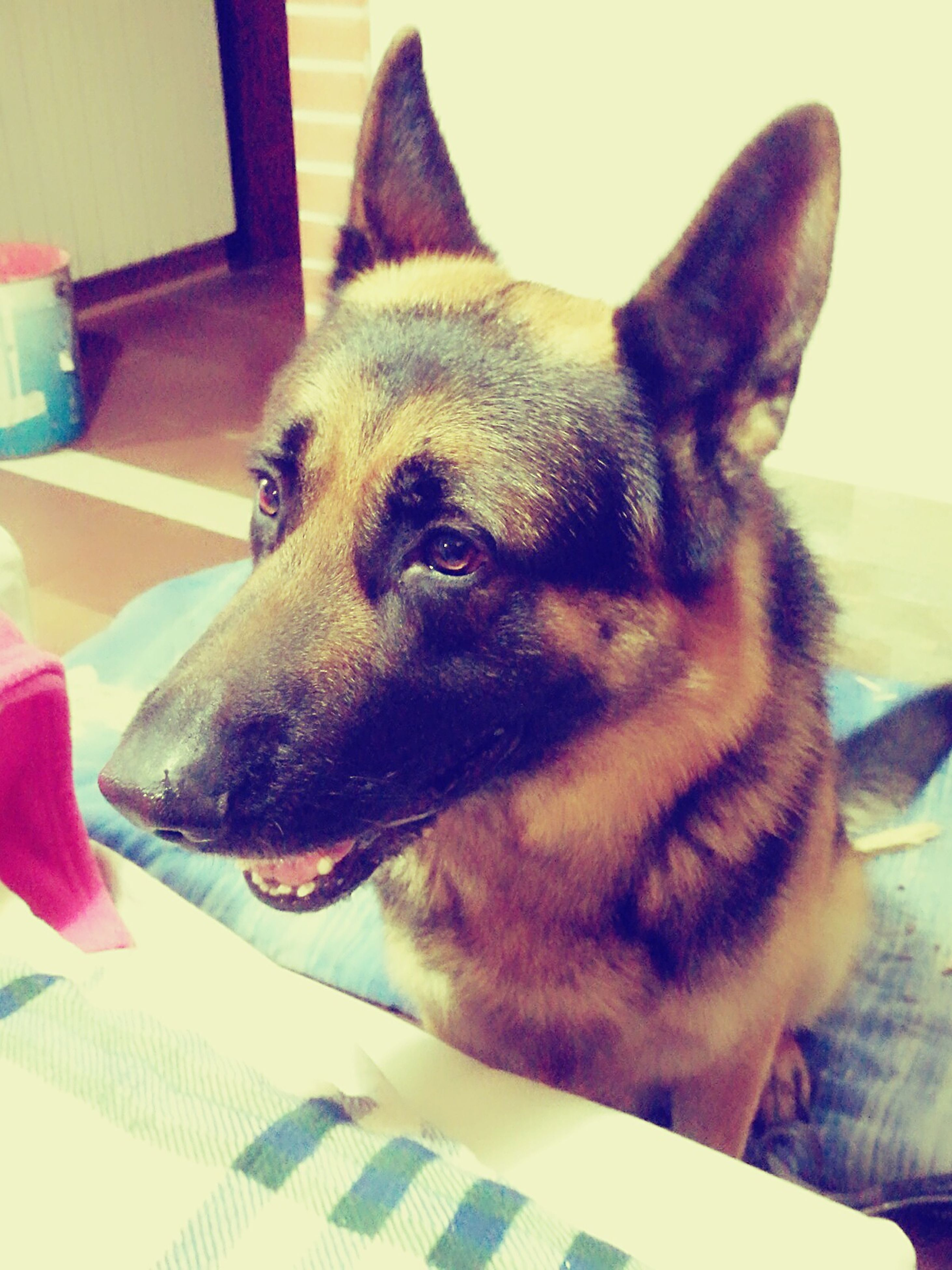 pets, domestic animals, dog, mammal, animal themes, one animal, close-up, relaxation, indoors, no people, portrait, german shepherd, day