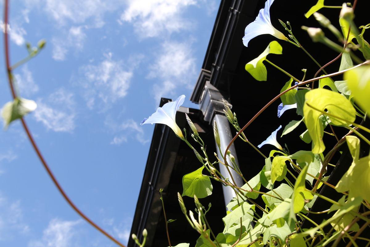 Japan Asagao Flower Leaf Low Angle View No People Sky 朝顔